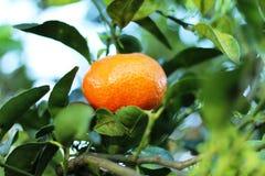 Tangerine im Baum in Costa Rica stockbilder