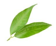 Tangerine leaf isolated Stock Photography