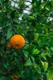 Tangerine between leaves. One ripe small tangerine between green leaves Royalty Free Stock Photography