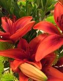 Tangerine Lily Royalty Free Stock Photos