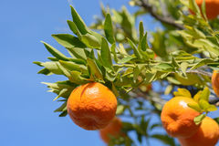 Tangerine or mandarin on leafy branch. In sunshine with blue sky background Stock Photos