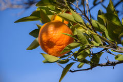 Tangerine or mandarin on a tree branch. With blue sky background Royalty Free Stock Images