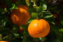 Tangerine or mandarin on a tree branch. With leaves Stock Photography
