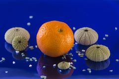 Tangerine with marine satellites in a huge blue. Composition with a tangerine, several sea urchin shells and small stones on a blue endless background royalty free stock images