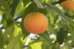 Tangerine na gałąź zdjęcia stock