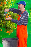 Tangerine orange farmer collecting man Stock Photo