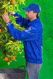 Tangerine orange farmer collecting man Stock Photos