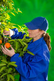 Tangerine orange farmer collecting woman Stock Photography
