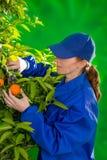 Tangerine orange farmer collecting woman Stock Photography