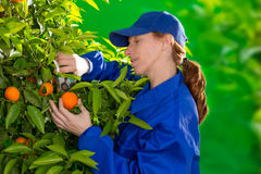 Tangerine orange farmer collecting woman Royalty Free Stock Images