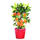Tangerine or orange tree in pot, watercolor illustration on white Royalty Free Stock Images
