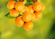 Tangerine oranges Royalty Free Stock Images