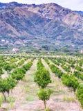 Tangerine orchard in Alcantara region of Sicily Stock Images