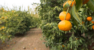 Tangerine Orchard Citrus Fruit Food Agriculture Ripe Harvest Royalty Free Stock Images