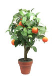 Tangerine Plant Royalty Free Stock Images