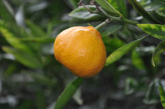 Tangerine plant Royalty Free Stock Photo