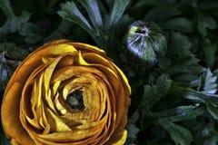 Tangerine primrose stock photo