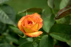 Tangerine Rose. With dew drops Stock Photos