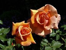 Tangerine Rose duet. Two perfect tangerine roses blooming in a summer garden in full sun Stock Photos