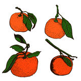 Tangerine sketches Stock Images