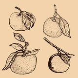 Tangerine sketches Stock Photo