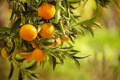 Tangerine sunny garden Stock Photography