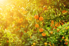 Tangerine sunny garden Royalty Free Stock Images