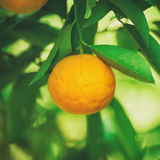 Tangerine sunny garden Royalty Free Stock Photography