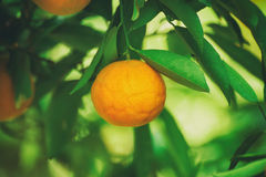 Tangerine sunny garden Royalty Free Stock Photo