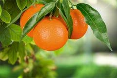 Tangerine. Orange fruit citrus fruit leaf single object juice Stock Photography