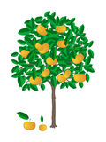 Tangerine tree. Little tangerine tree with ripe tangerines on it vector illustration