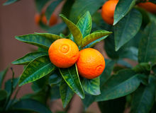 Tangerine on tree. Tangerine brunches with fruit and leaves royalty free stock photography