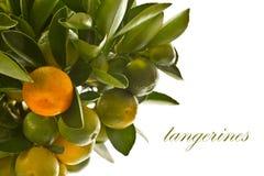 Tangerine Tree Stock Image