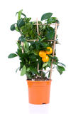 Tangerine tree Stock Image