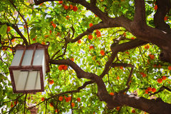 Tangerine tree. And a Chinese lantern stock photo