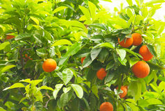 Tangerine tree background Stock Photos