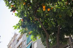 Tangerine tree. A background with orange tree, its leaves and fruits, Barcelona, Spain. royalty free stock photography