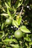 Tangerine fruit on a tree. Tangerine on a tree branch Stock Photo