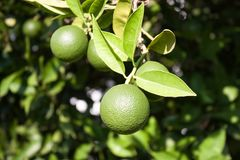 Tangerine fruit on a tree. Tangerine on a tree branch Royalty Free Stock Images