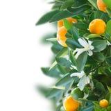 Tangerine tree Royalty Free Stock Photo