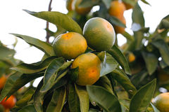 Tangerine tree Stock Images