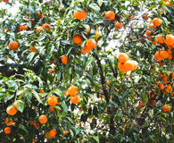 Tangerine tree Stock Photos