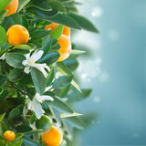 Tangerine tree Stock Photos
