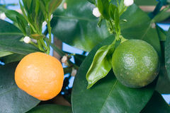 Tangerine tree (Citrofortunella microcarpa) Royalty Free Stock Photography
