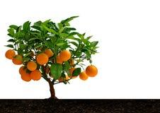 Tangerine tree with citrus fruit Mandarin. Stock Photo