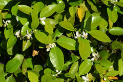 Tangerine tree flowers. Close-up of tangerine tree with spring flowers Royalty Free Stock Image