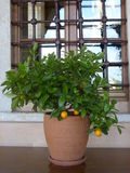 tangerine tree in front of the window Royalty Free Stock Photo