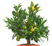 Tangerine tree Stock Photography
