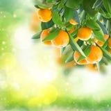 Tangerine tree. Garden with tangerine tree branches in green garden royalty free stock photos