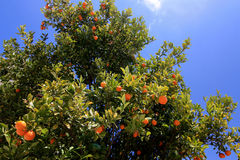 Tangerine tree in Greece. A tree spangled with tangerines and with blue sky on the background Royalty Free Stock Images